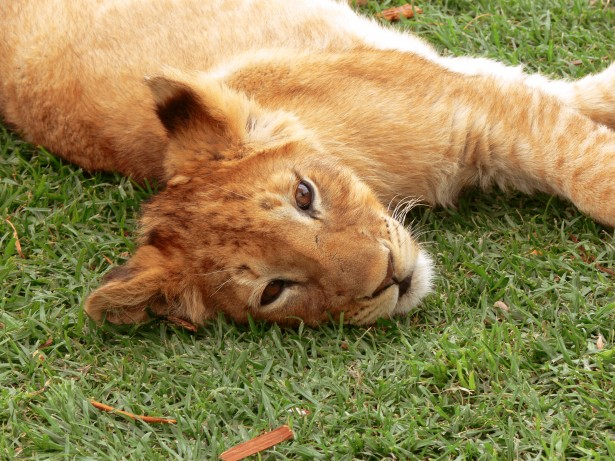 Lion cub lying on the grass.