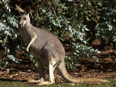 Photo of adult kangaroo