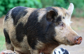 Photo of adult pig